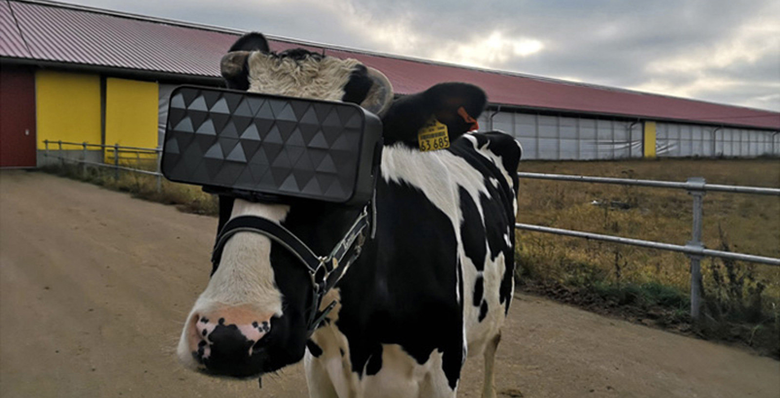 Cow VR headset